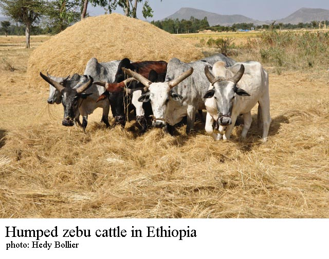 Zebu cattle in Ethiopia