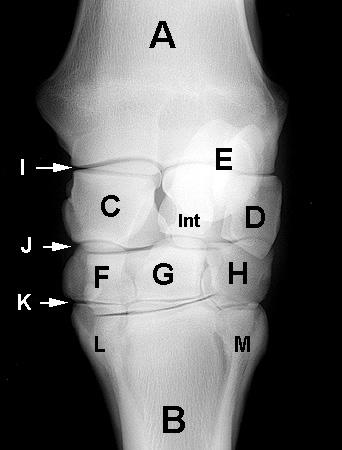 Carpus Equine Anatomy Radiology Small Animal Hospital