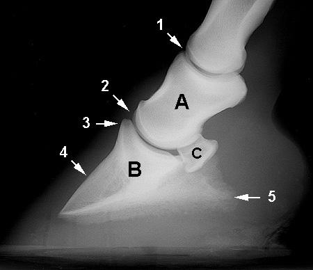 Distal Extremity Equine Anatomy Radiology Small Animal