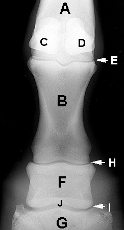 Radiograph of the Dorsopalmar(plantar) view