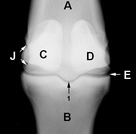 Equine fetlock anatomy