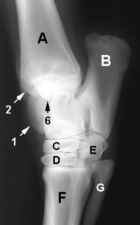 Radiograph of the Dorsolateral to Plantaromedial oblique view (DLPM-O)