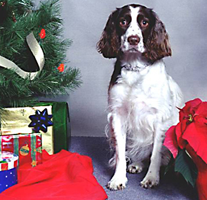Maggie the English springer spaniel