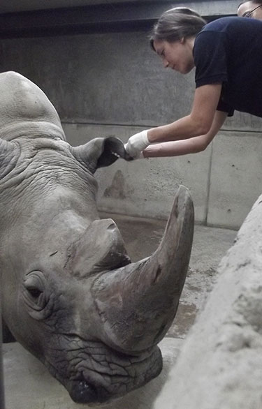 Third-year student Sabra Ortega draws blood from Axel the rhino's ear at the Guadalajara Zoo in Jalisco, Mexico. Sabra was there from June 3 to June 7 on a mentorship.