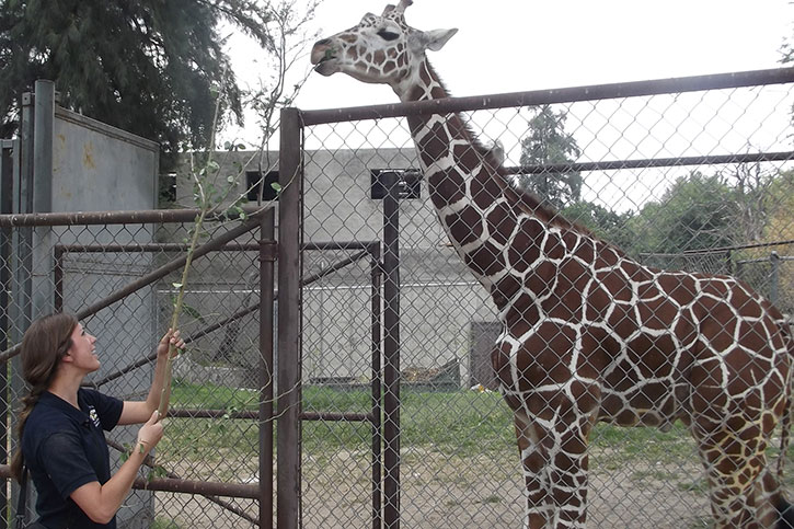 "Sabra lures this giraffe into a chute, using a special type of leaf. The branch comes from a tree native to Mexico that is highly nutritional and considered ""a special treat"" by the giraffes. This is also a form of training to desensitize the giraffes in order to use the chute to facilitate the administration of medication and other treatments."