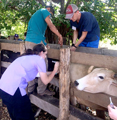 CVM students work with cattle in Nicaragua