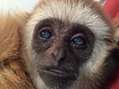 Booger the gibbon