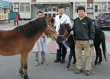 Dr. Jing Li with two Mongolian horses used as a teaching herd