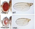 """Headcase"" functions together with ""Unkempt"" to regulate tissue growth in fruit flies."