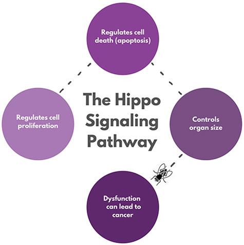Hippo signaling pathway