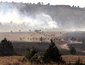 Wildfires and cattle