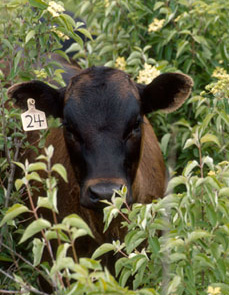 Cow in bushes