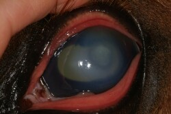 equine fungal ulcer